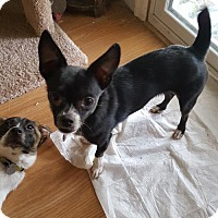 Adopt A Pet :: Nae Nae  2 Years - C/S & Denver Metro, CO