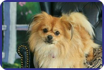 Pomeranian/Pekingese Mix Dog for adoption in Dallas, Texas - Toshi