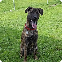 Dutch Shepherd Mix Dog for adoption in Lithia, Florida - WYATT