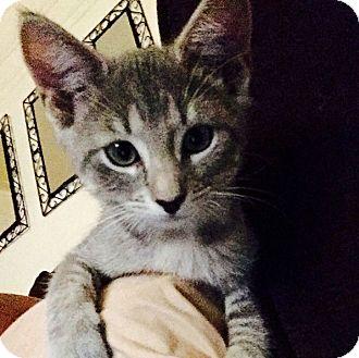 American Shorthair Kitten for adoption in New York, New York - Sarabi