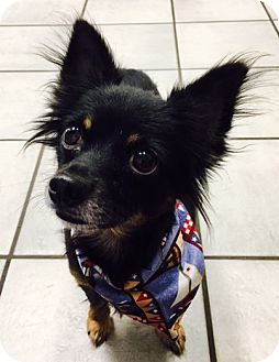 Chihuahua Dog for adoption in West Columbia, South Carolina - Monty