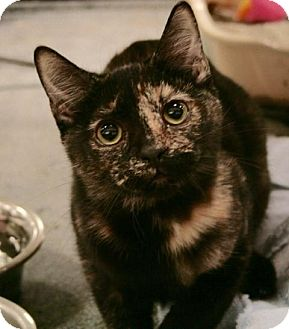 Domestic Shorthair Cat for adoption in Sacramento, California - Cee Cee