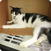 Domestic Shorthair Cat for adoption in New Port Richey, Florida - Fernando