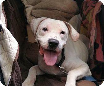 Pit Bull Terrier/American Bulldog Mix Dog for adoption in Acushnet, Massachusetts - Jackson