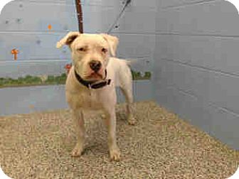 Pit Bull Terrier Mix Dog for adoption in San Bernardino, California - URGENT ON 10/20 San Bernardino