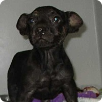 Adopt A Pet :: Tiny - Cinnamon Pup - Clear Lake, IA