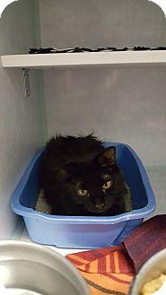 Domestic Mediumhair Cat for adoption in Cody, Wyoming - Casey