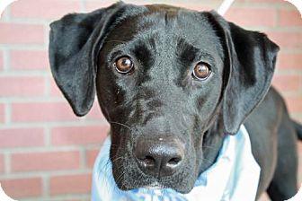 Labrador Retriever Dog for adoption in Clovis, California - Lexi