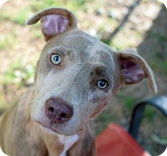 American Staffordshire Terrier/Catahoula Leopard Dog Mix Dog for adoption in Suwanee, Georgia - Raelynn