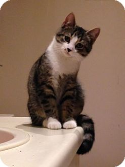 Domestic Shorthair Kitten for adoption in Thornhill, Ontario - Gucci