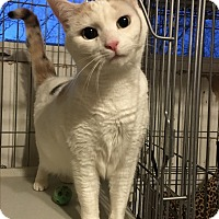 Calico Cat for adoption in Bedford Hills, New York - Eloise