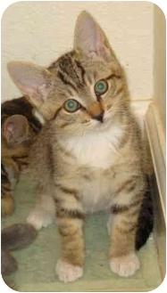 Domestic Shorthair Kitten for adoption in Davis, California - Bobby