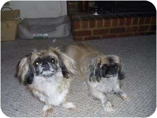Pekingese Dog for adoption in Richmond, Virginia - Harvey and Bruce