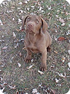 Labrador Retriever Mix Puppy for adoption in Bedford, Virginia - Scooby Doo