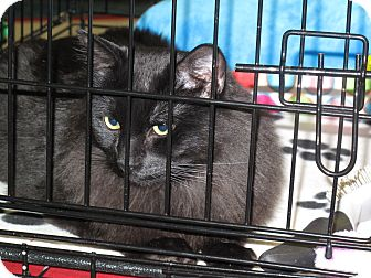 Maine Coon Cat for adoption in Port Republic, Maryland - Dancer