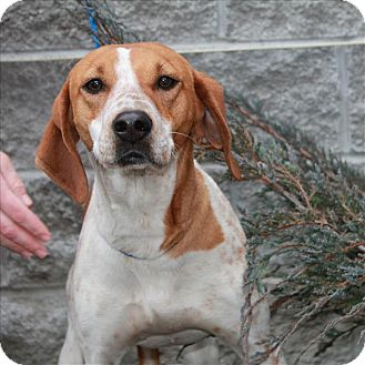 English (Redtick) Coonhound/Coonhound Mix Dog for adoption in Chicago, Illinois - Dixie(Delightful!)