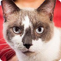 Snowshoe Cat for adoption in Fenton, Missouri - Wesley