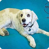 Adopt A Pet :: Edison - Phoenix, AZ