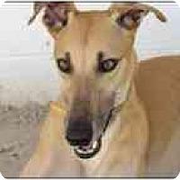 Adopt A Pet :: Lasorda - St Petersburg, FL