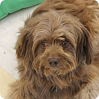 Adopt A Pet :: Tommy - La Habra Heights, CA