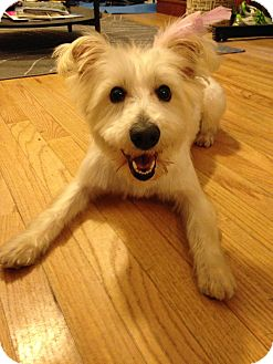Westie Dog Rescue Nj