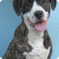 Adopt A Pet :: isabella - Yuba City, CA