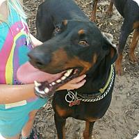 Adopt A Pet :: Diesel - Wichita, KS
