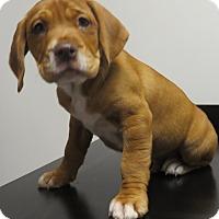 Adopt A Pet :: Roosevelt - $250 - Seneca, SC
