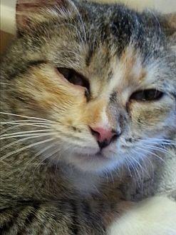 Calico Kitten for adoption in Waxhaw, North Carolina - Trixie