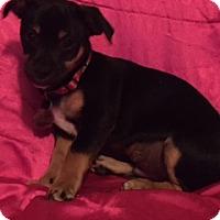Adopt A Pet :: Dezzie - Santa Monica, CA