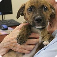 Adopt A Pet :: Kamden - Mocksville, NC
