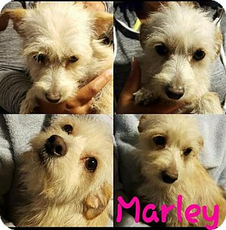 Terrier (Unknown Type, Medium)/Poodle (Miniature) Mix Dog for adoption in Colton, California - !  Marley