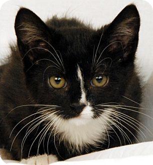 Domestic Shorthair Kitten for adoption in Newland, North Carolina - Sonny