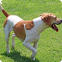 Hound (Unknown Type) Mix Dog for adoption in Savannah, Tennessee - Viktor