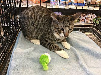 Domestic Shorthair Cat for adoption in Gilbert, Arizona - Miles
