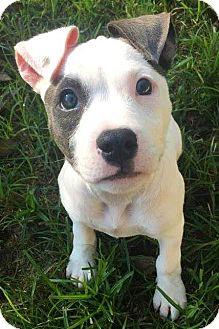 Pit Bull Terrier Puppy for adoption in Kansas City, Missouri - Frankie