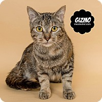 Domestic Shorthair Cat for adoption in Wyandotte, Michigan - Gizmo