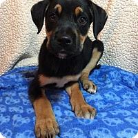 Adopt A Pet :: Bo (DE-Darlene) - Newark, DE