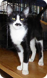 Domestic Shorthair Kitten for adoption in Long Beach, California - Frieda