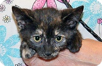 Domestic Shorthair Kitten for adoption in Wildomar, California - 322998