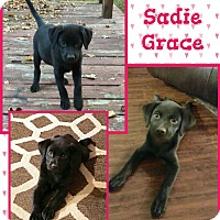 Adopt A Pet :: Sadie Grace meet me 12/2 - Manchester, CT