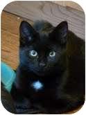 Domestic Shorthair Cat for adoption in Fredericton, New Brunswick - Jasper