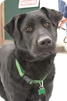 Labrador Retriever Mix Dog for adoption in Rockaway, New Jersey - Tank