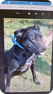 Labrador Retriever/Shepherd (Unknown Type) Mix Dog for adoption in weatherford, Texas - Jasmine