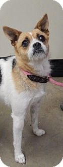 Jack Russell Terrier Mix Dog for adoption in Amarillo, Texas - Bailey