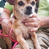 Adopt A Pet :: Stella - Loudonville, NY