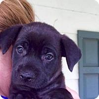 Adopt A Pet :: Pinot - Barnegat, NJ