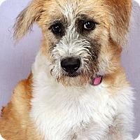 Adopt A Pet :: Bella (Lucy) Airedalemix - St. Louis, MO