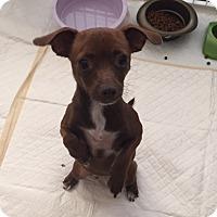 Chihuahua Dog for adoption in Honeoye Falls, New York - Mima