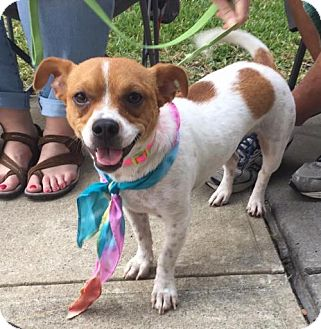 Chihuahua/Terrier (Unknown Type, Medium) Mix Dog for adoption in Rockwall, Texas - Coco